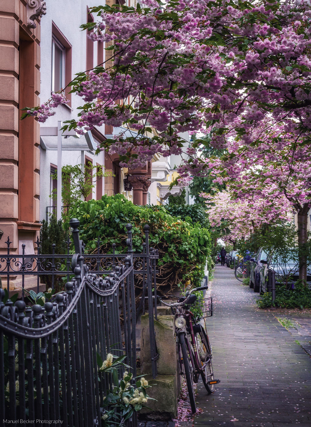 Rose Street at blooming period, Bonn, Germany