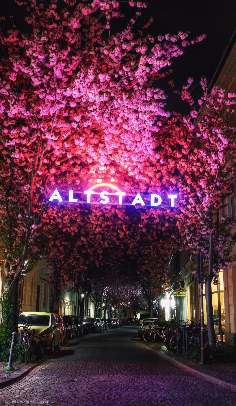 'Altstadt' cherry trees, Bonn, Germany