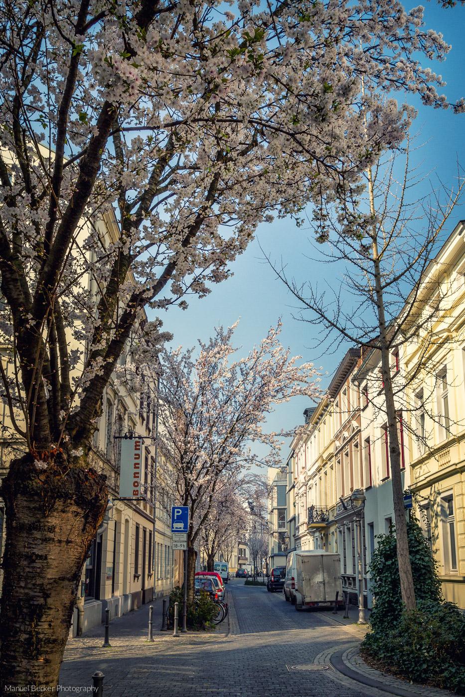 Beginning of cherry tree blooming period, Bonn, Germany