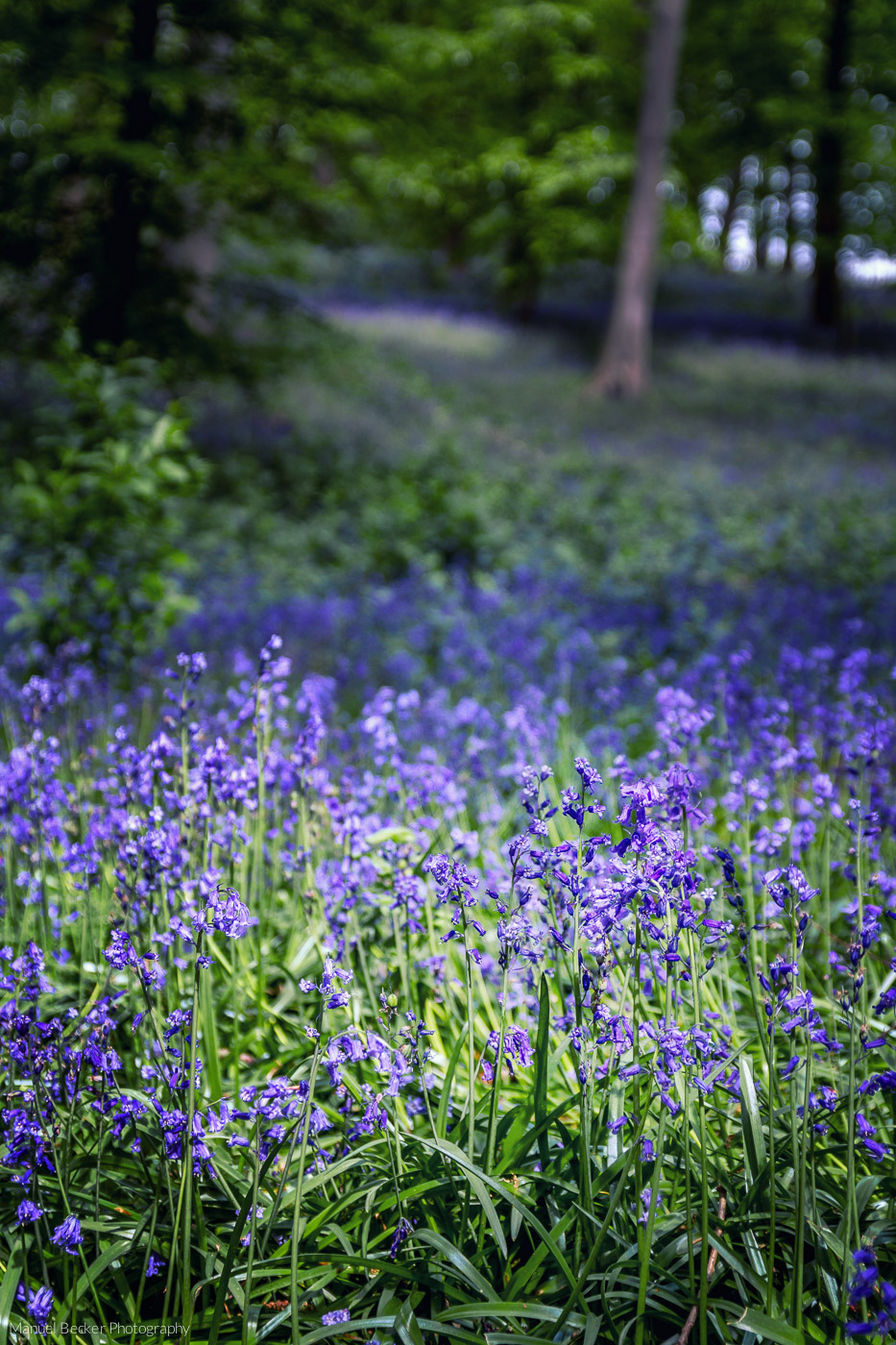 Bluebell wood, Hückelhoven, Germany
