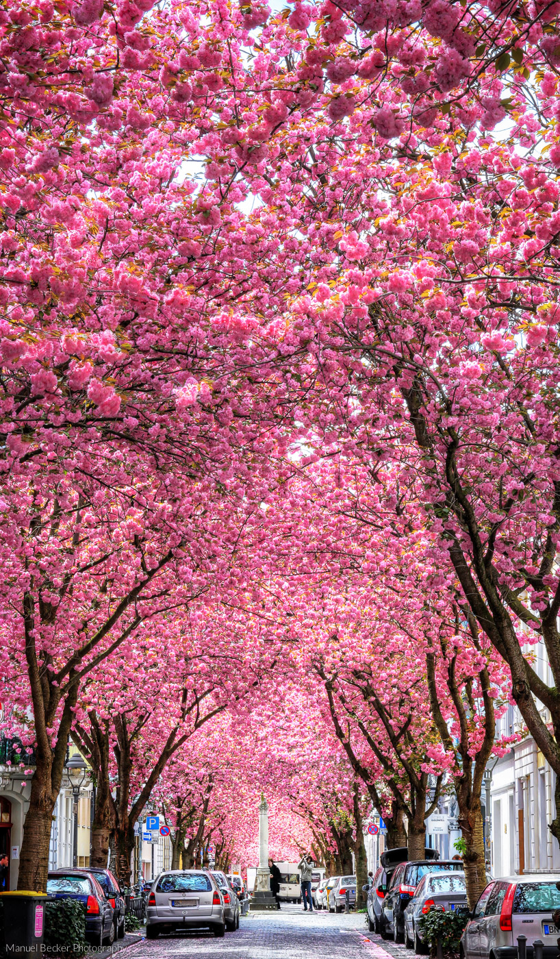 Cherry trees at Heerstreet, Bonn, Germany
