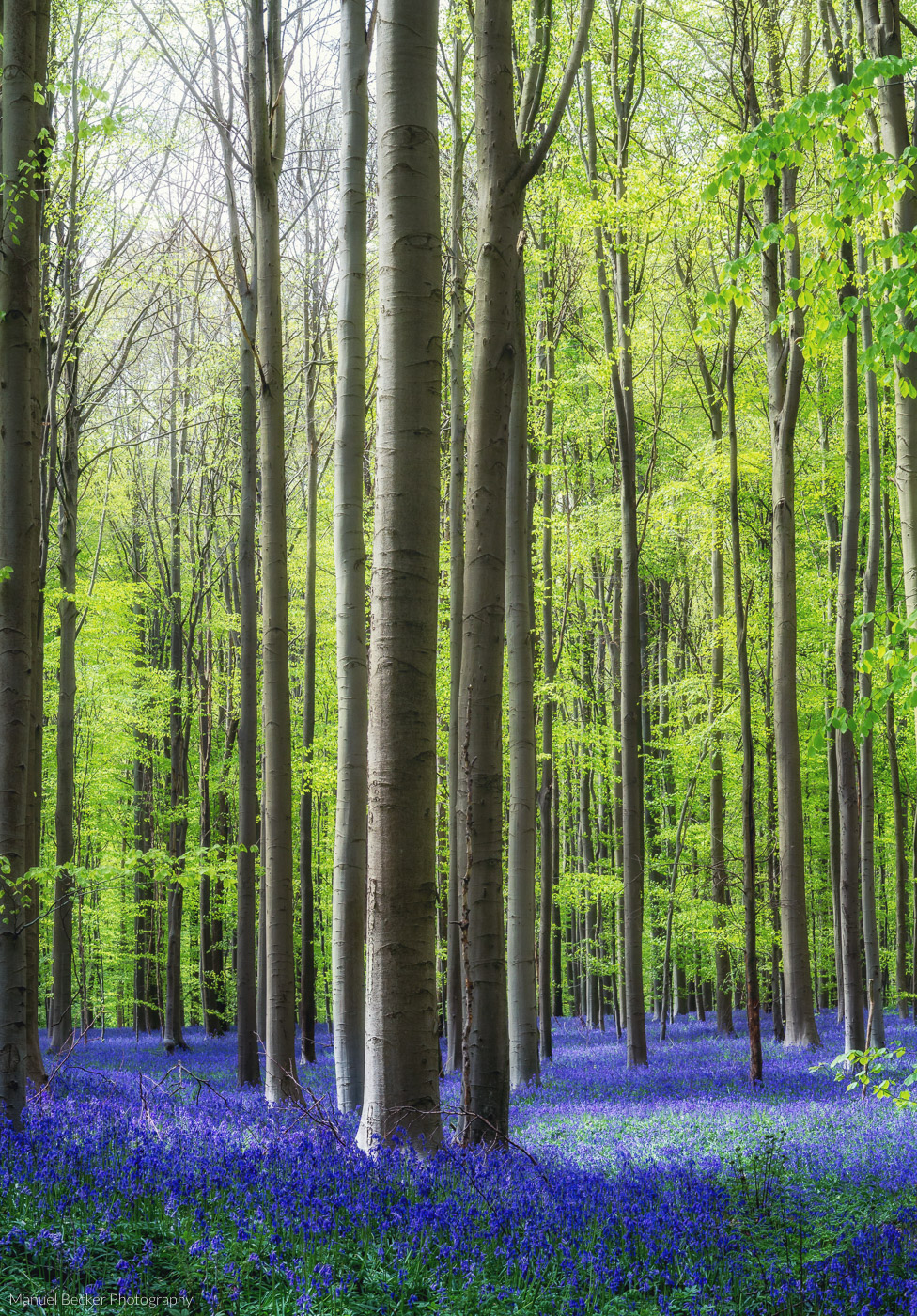 Bluebell forest Hallerbos near Brussels, Belgium