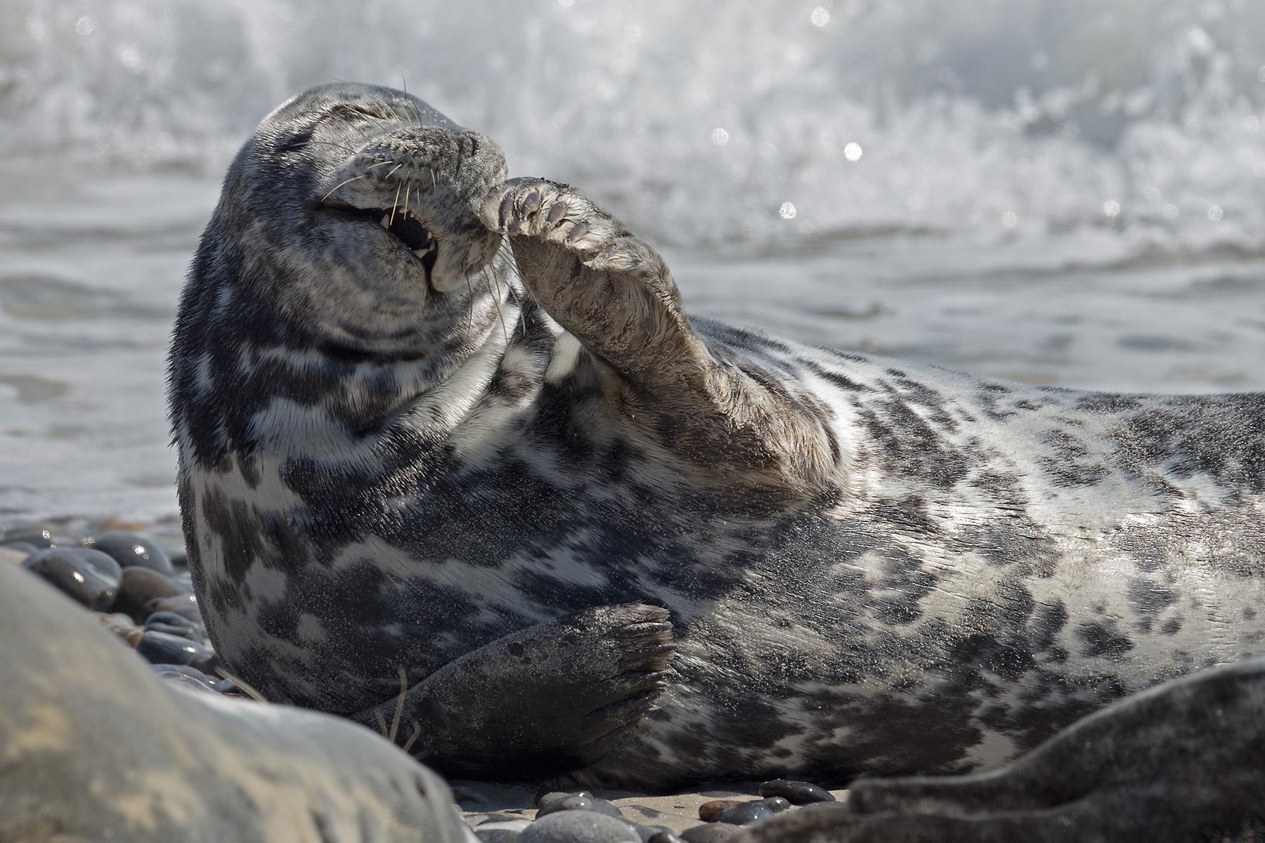 Seal colony on Düne, Germany