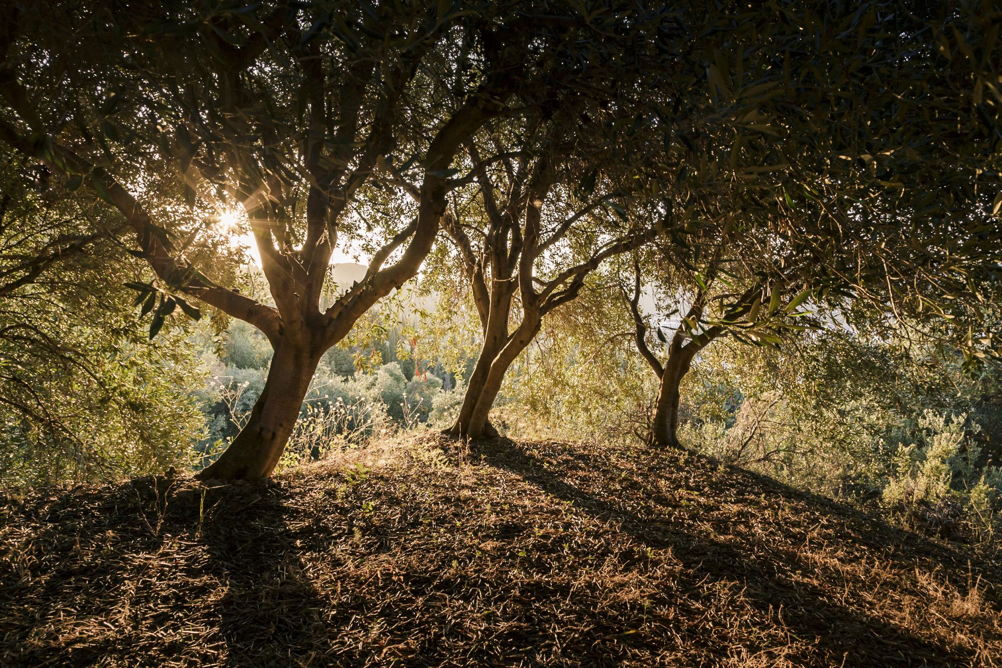 Three Olive Trees, Greece