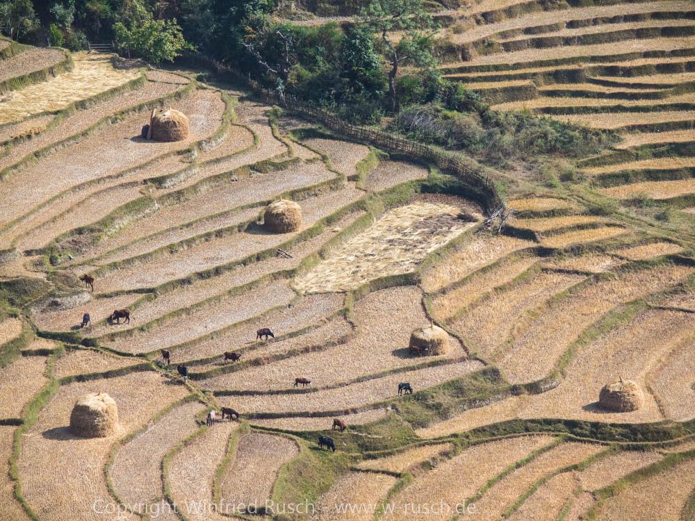 Reisfeld in Punakha, Bhutan