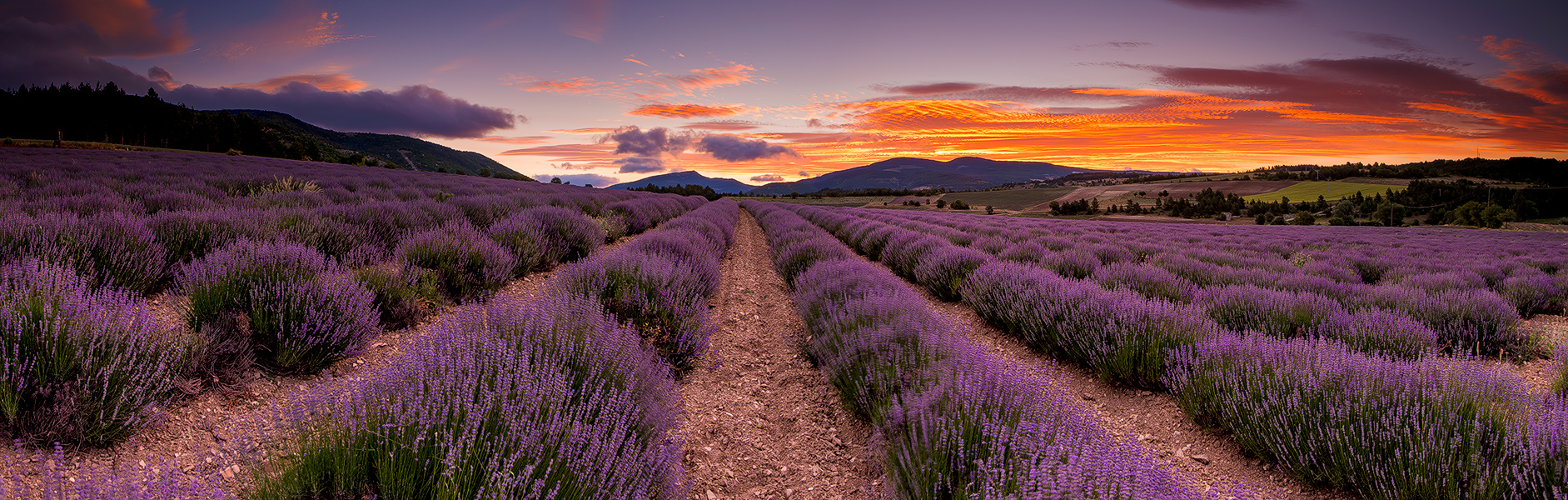 The perfect Lavenderfield in the Provence, France