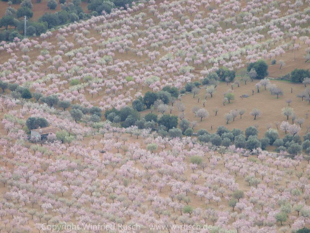 Mandelbaumblüte auf Mallorca, Spain