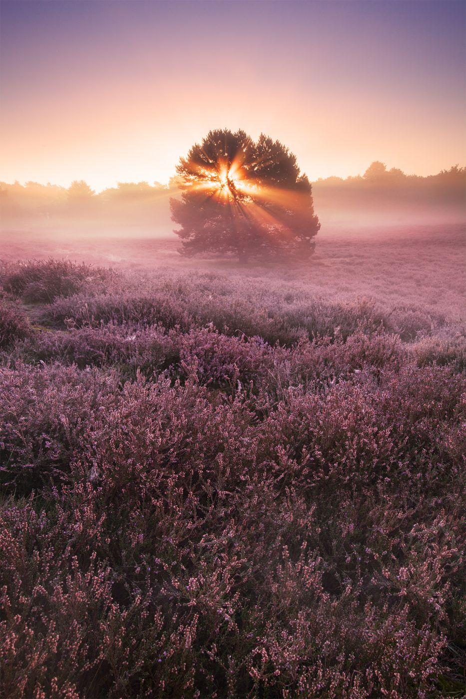 Heathlands at Westruper Heide, Germany