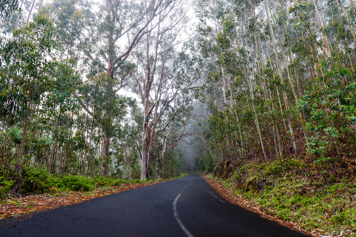 Madeira Eucalyptus forest, Portugal