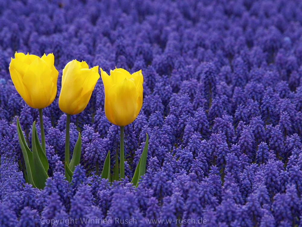 Frühling im Keukenhof, Netherlands