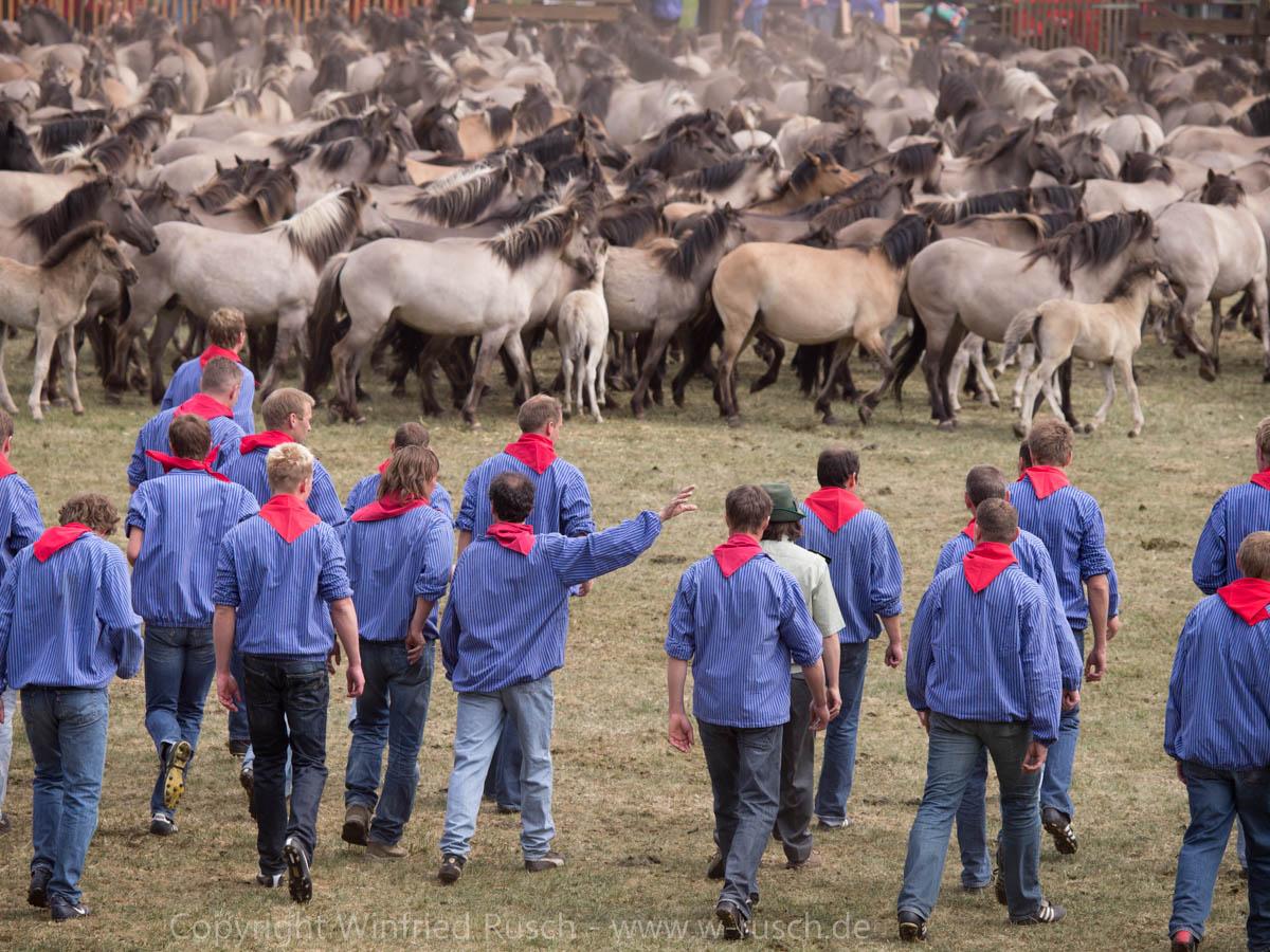 Wildpferdefang in Dülmen-Merfeld, Germany