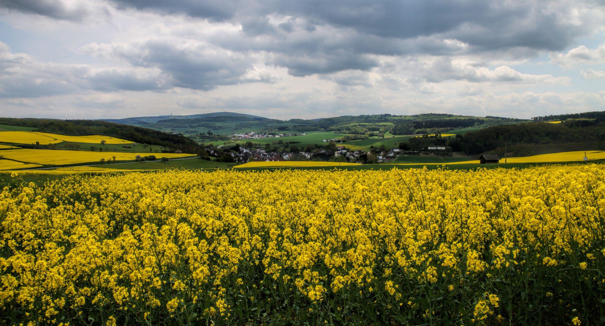 Canola Fields in Spring, Germany