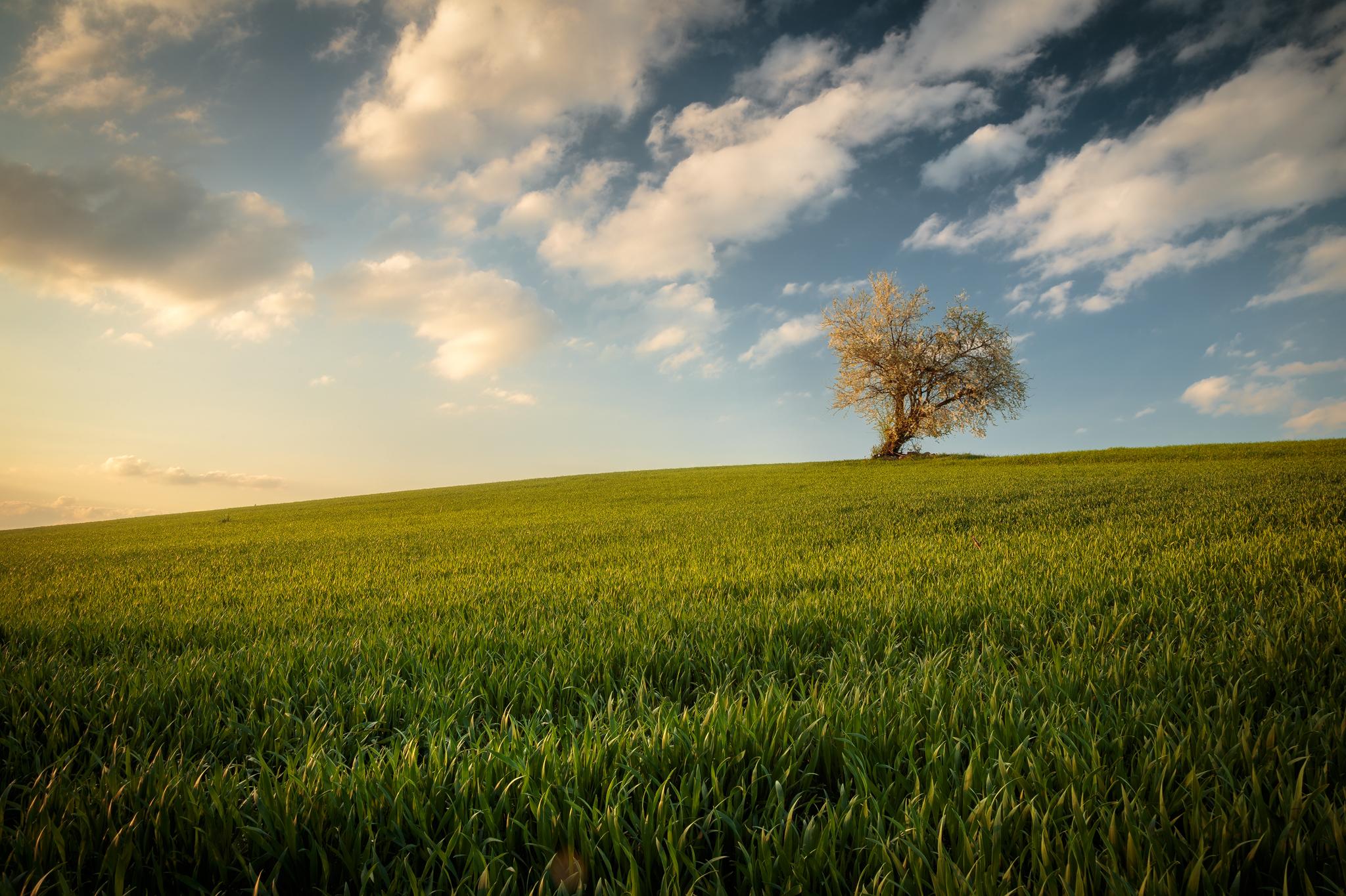 Single tree on a field, Germany