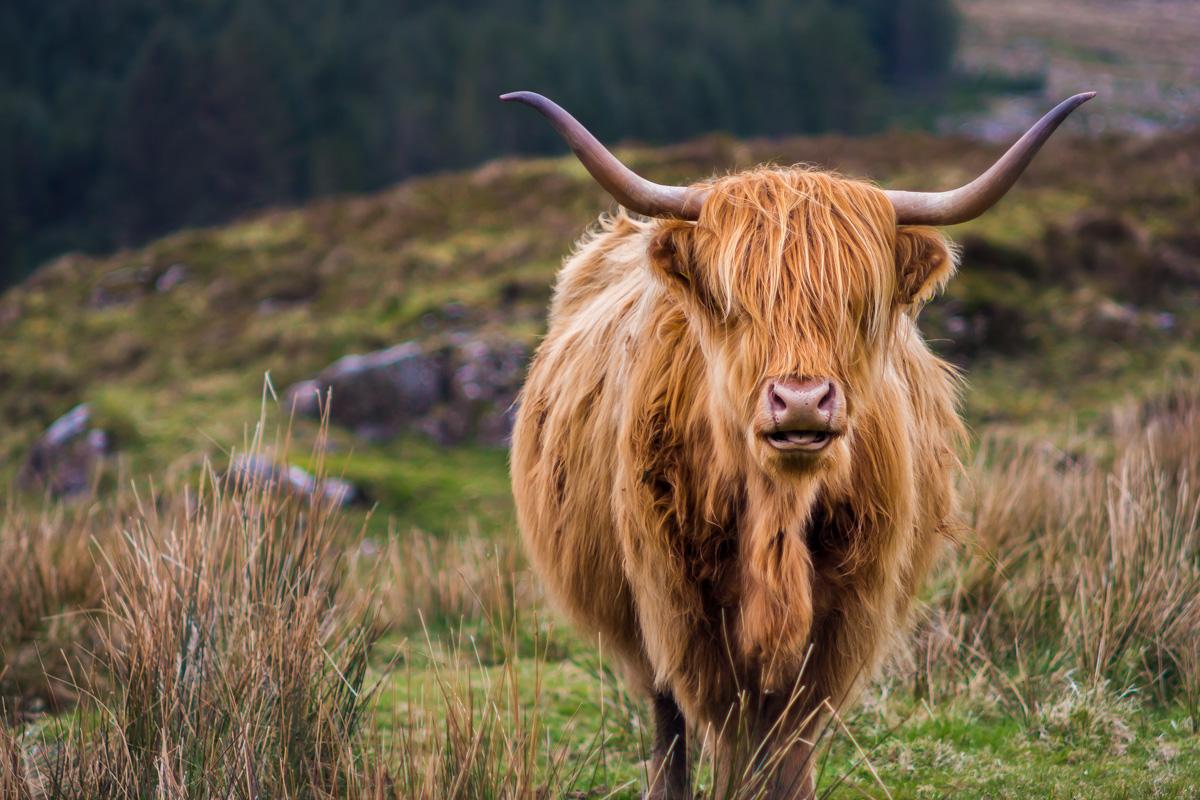 Highland Cattle on the Isle of Skye, United Kingdom