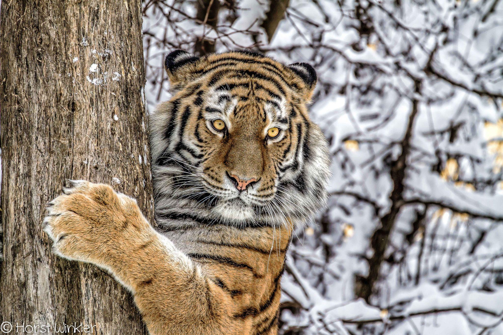 Tiger At The Tree, Austria
