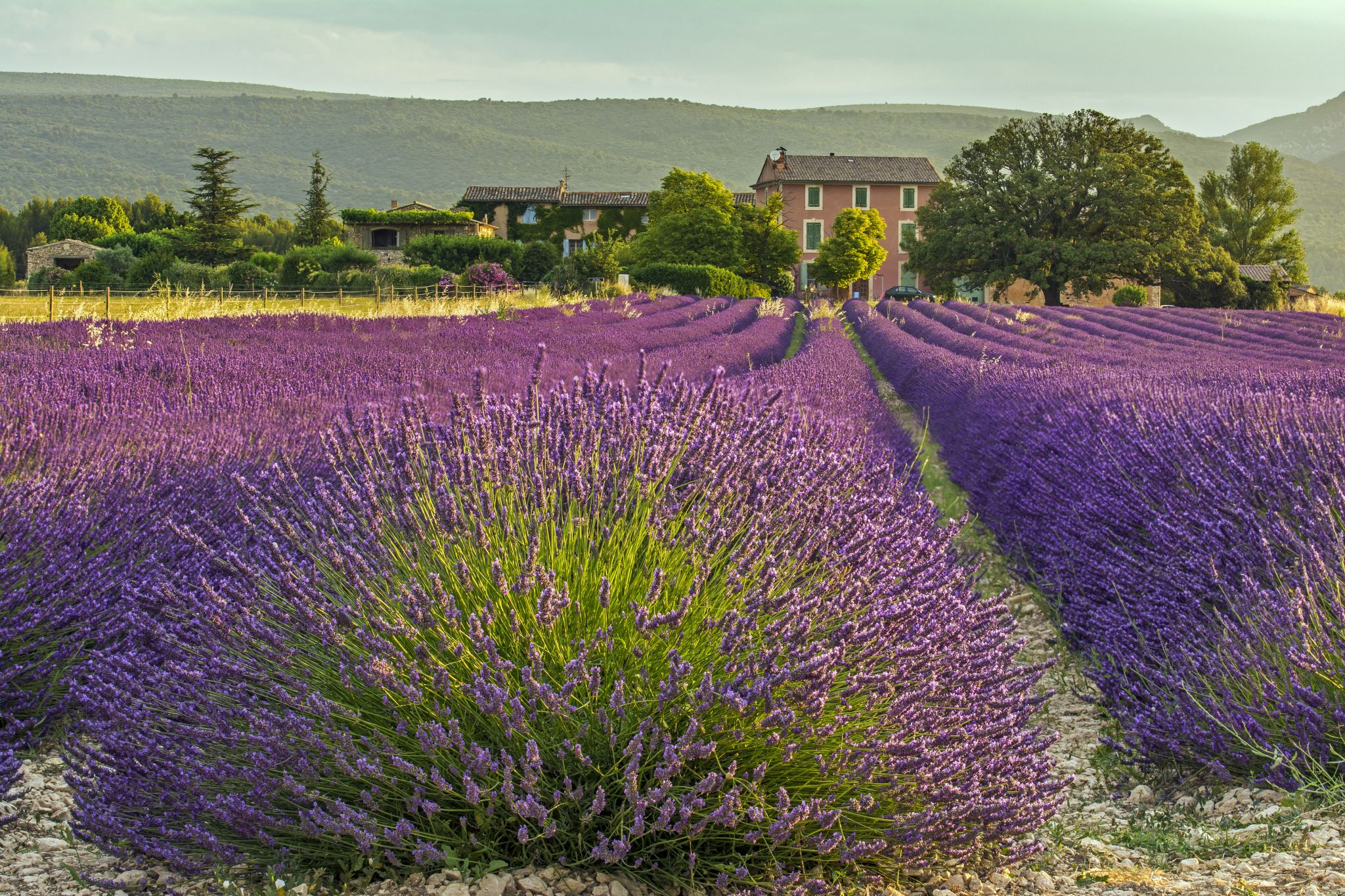 The Lavender Fields of Roussillon, France