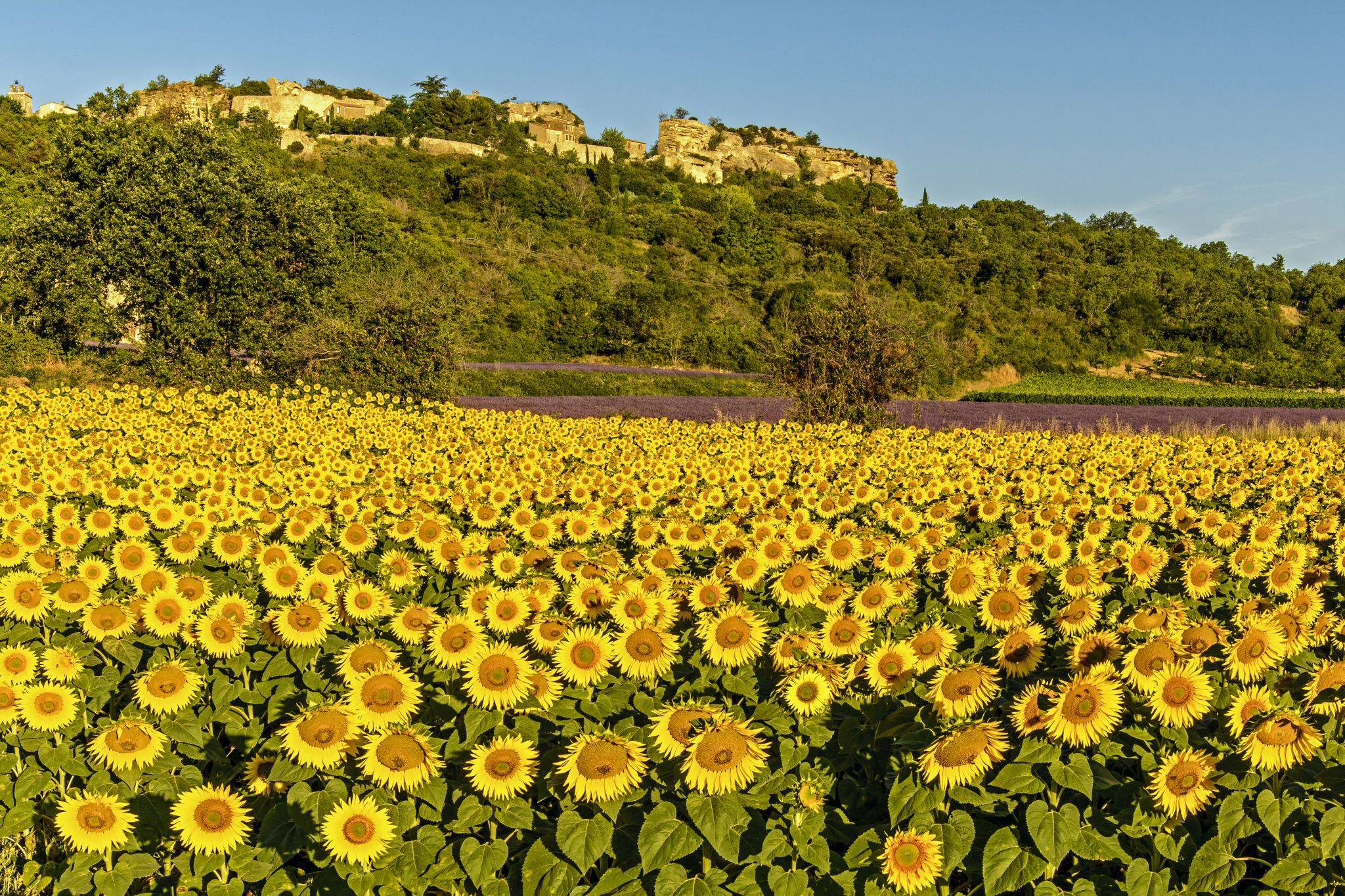 The Sunflower Fields Of Saignon, France