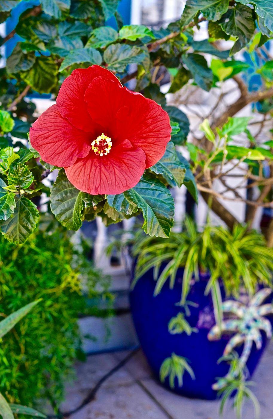 Hibiscus, USA