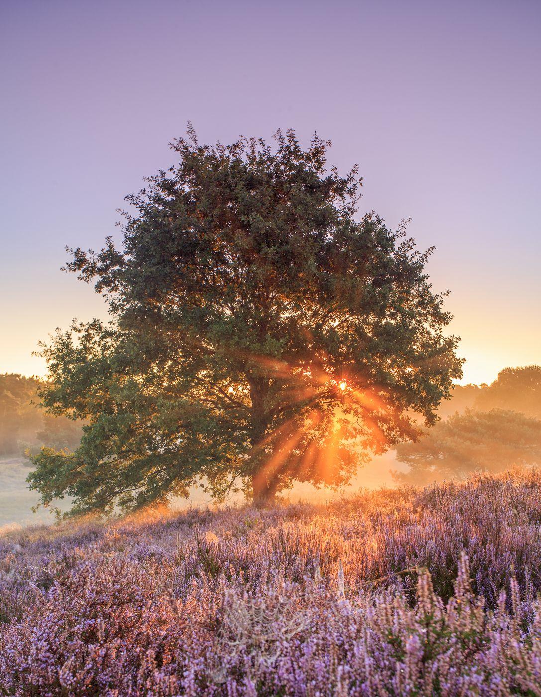 Tree in the heath, Haltern, Germany, Germany