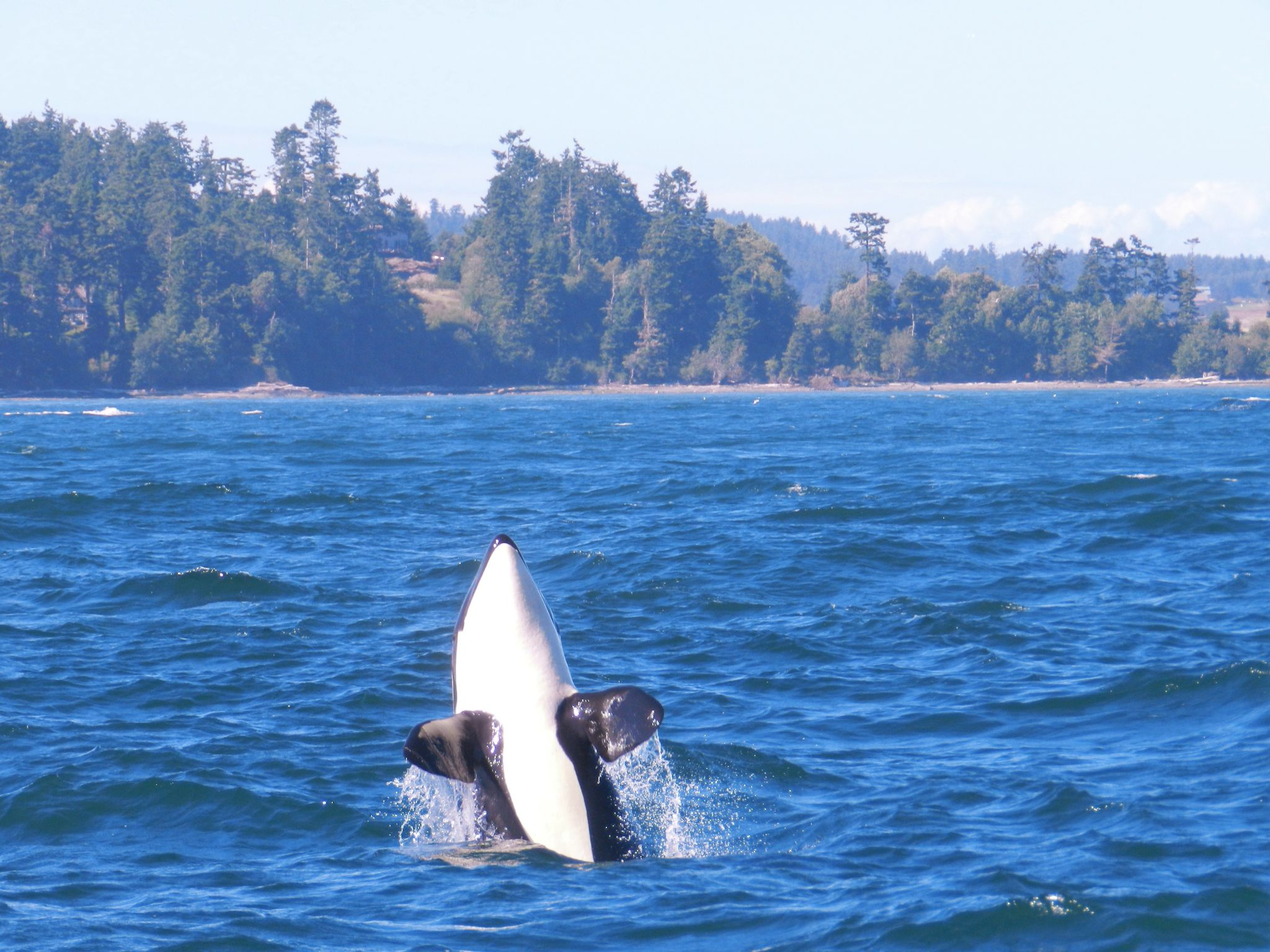 Orca Whales, USA