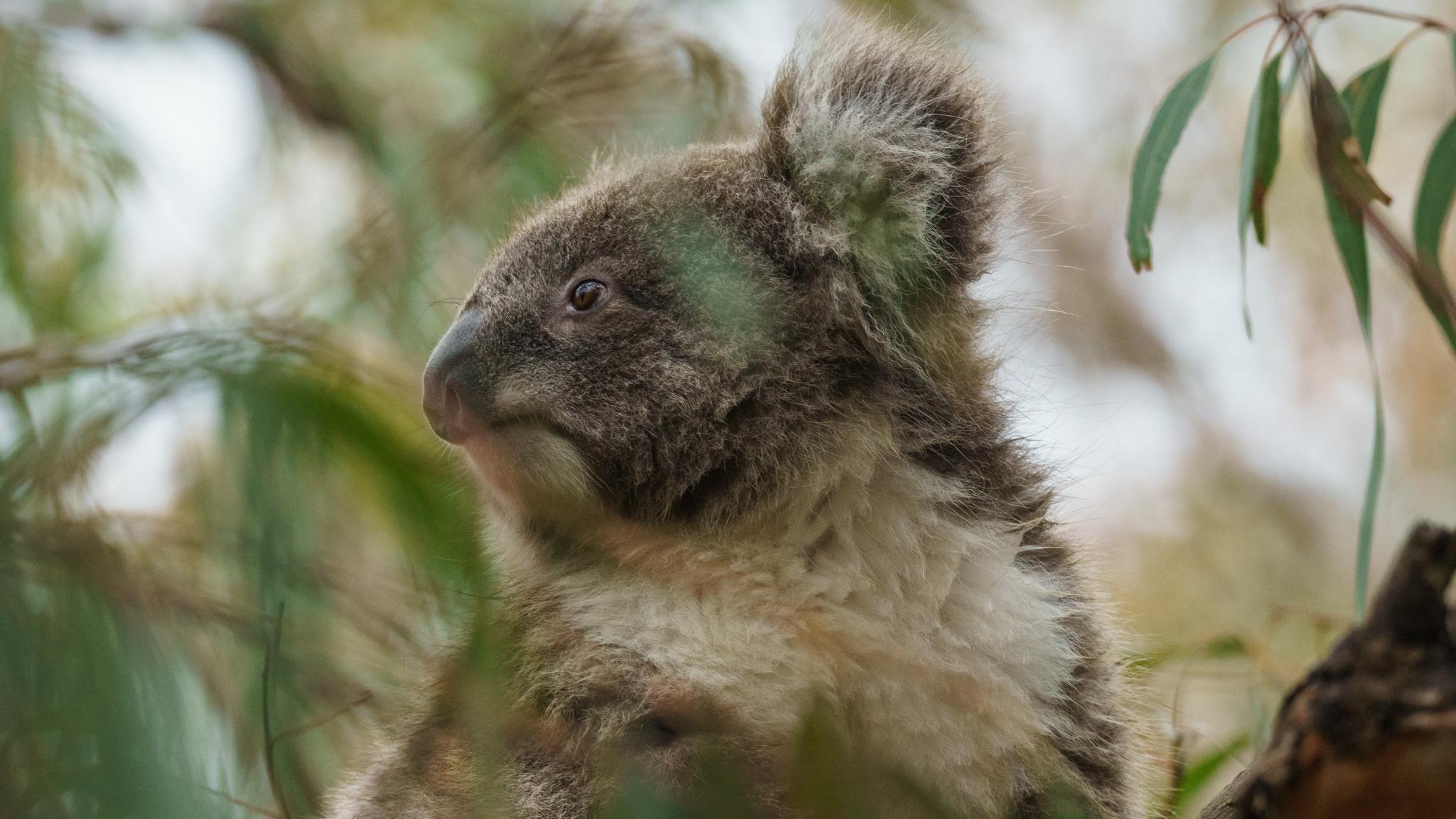 Koala trail on Raymond Island, Australia