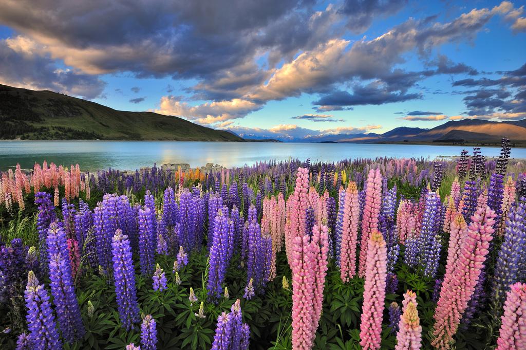 Lupines on the shore of Lake Tekapo, New Zealand, New Zealand