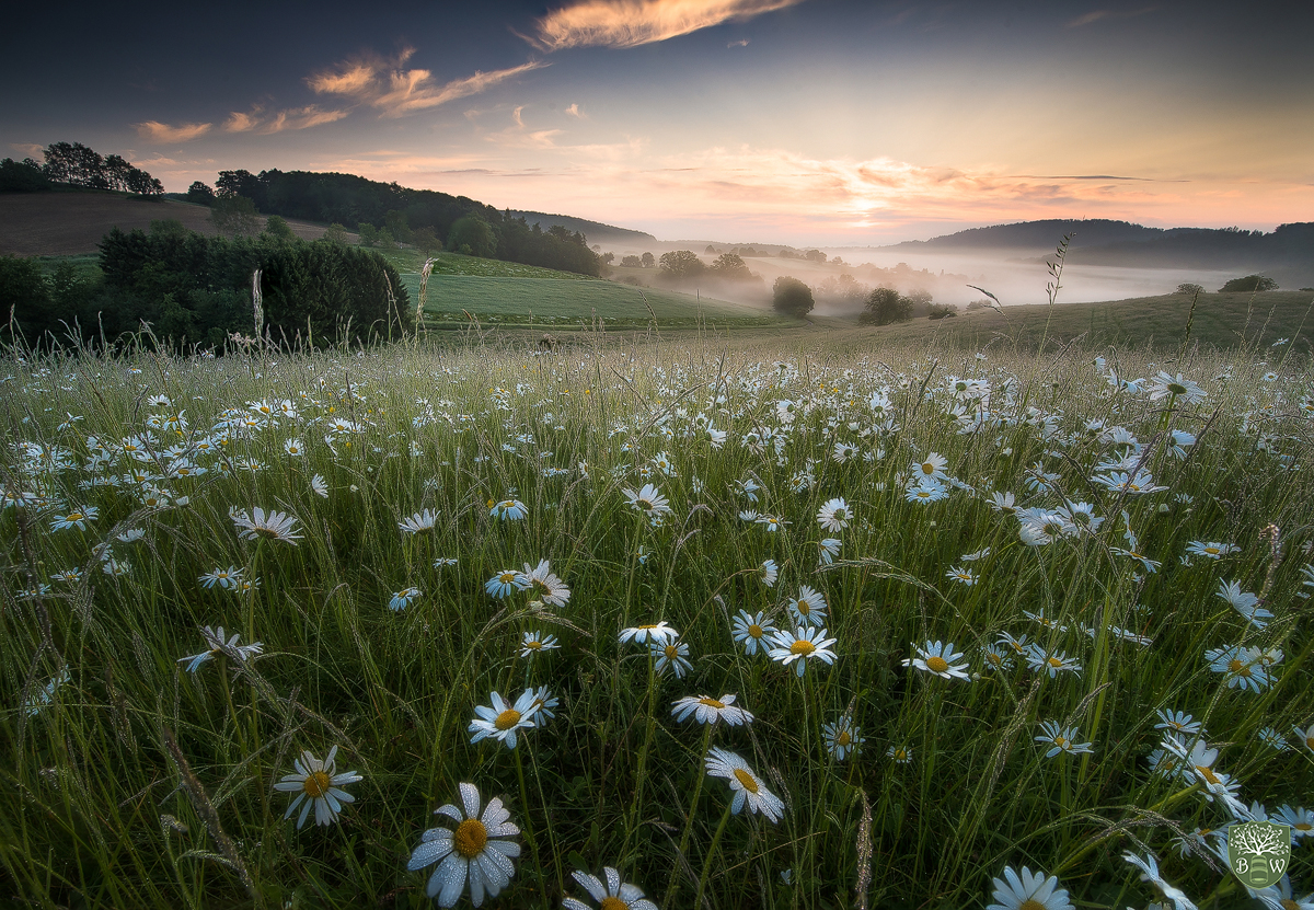 Maguerite blossom, Odenwald, Germany