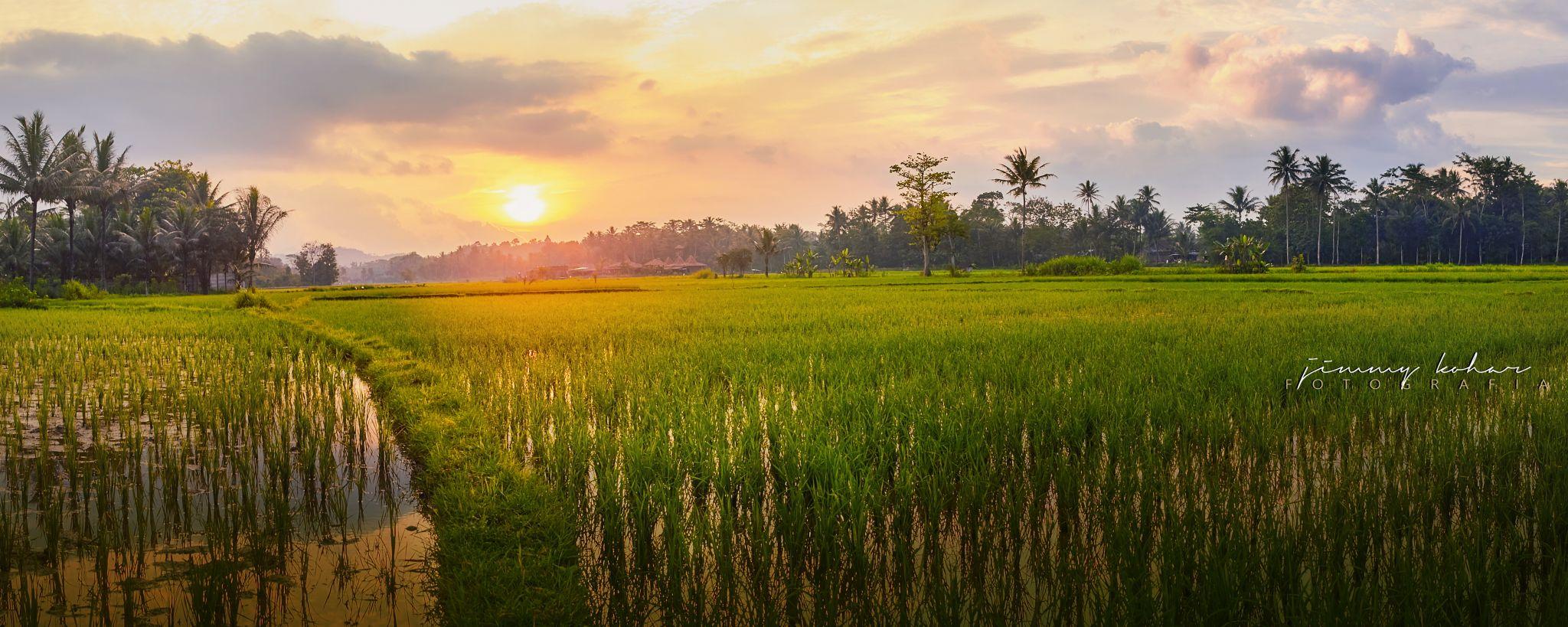 Paddy Field near Borobudur Temple, Indonesia