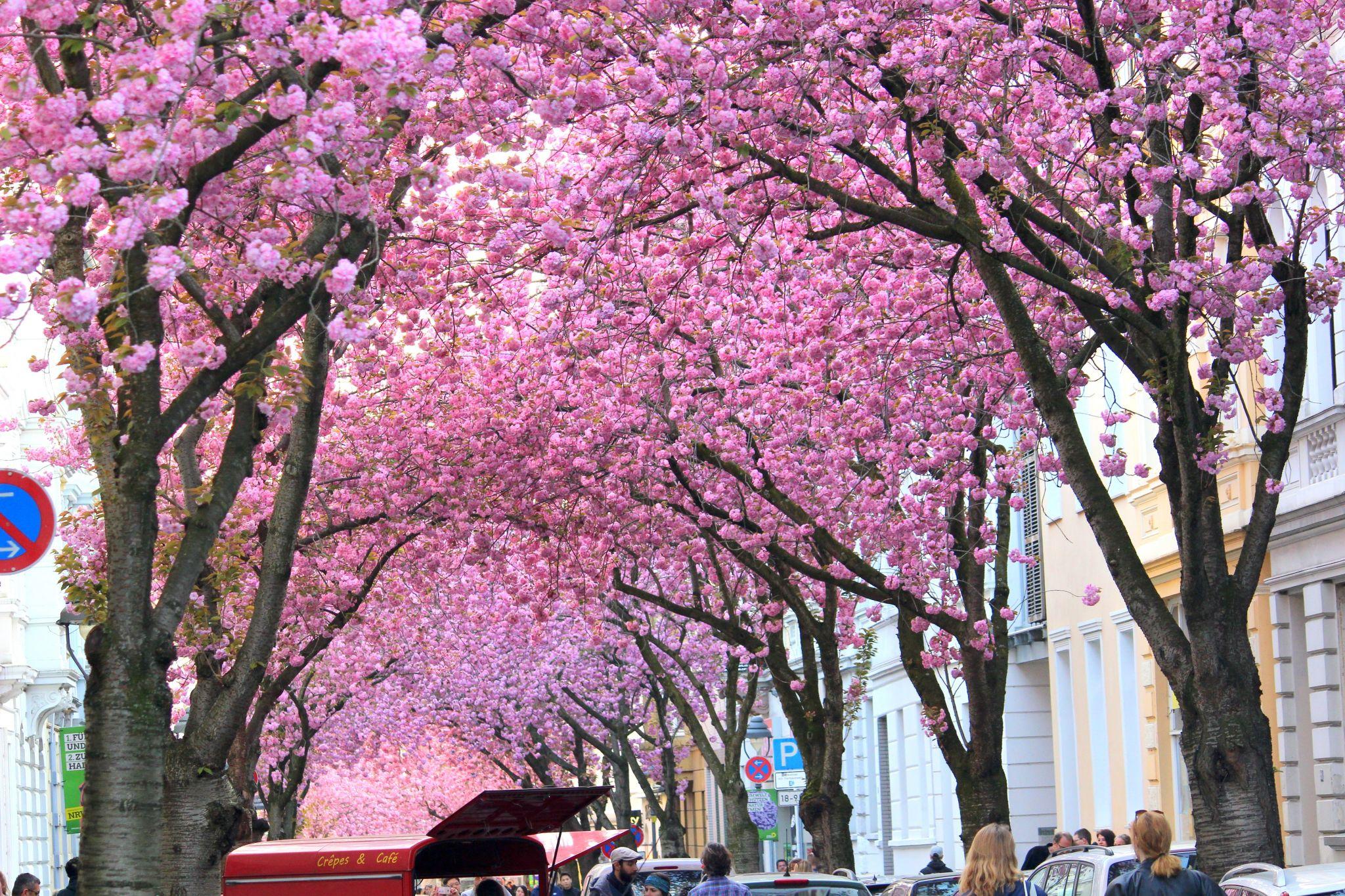 Cherry Blossom Heerstrasse, Bonn, Germany