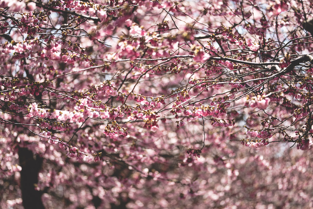 Cherry Blossoms of Kungsträdgården, Sweden