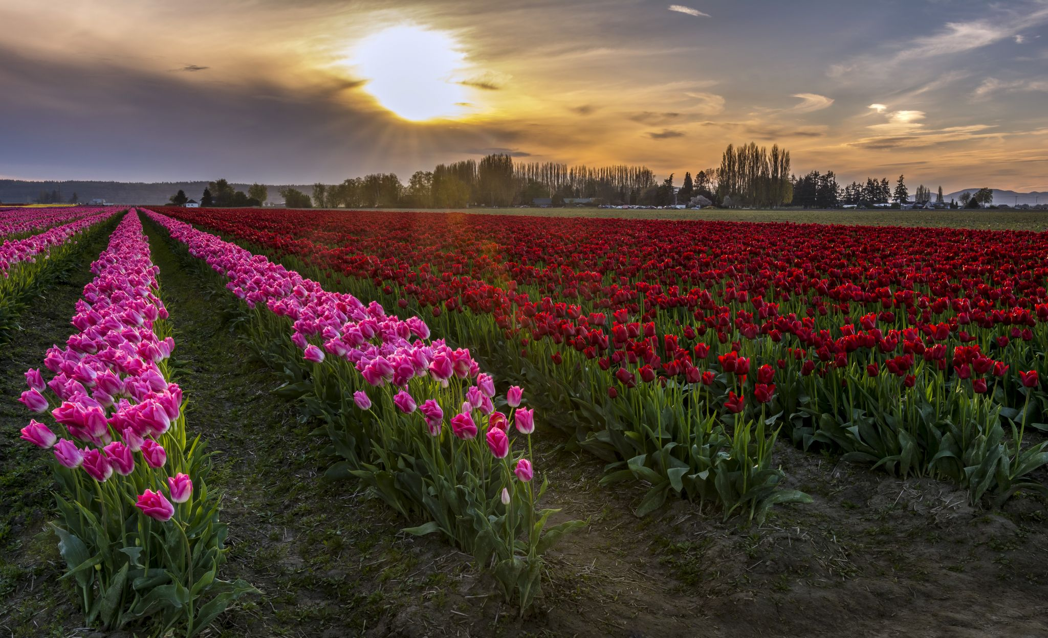 Rozengaarde's Tulip Fields, USA