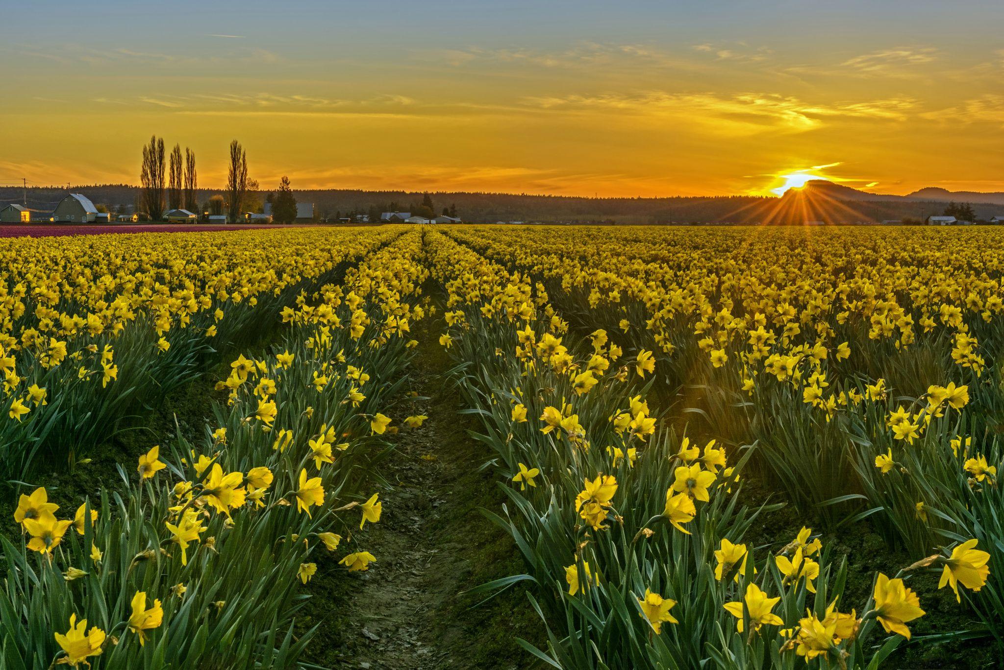 Skagit Valley Daffodils, USA