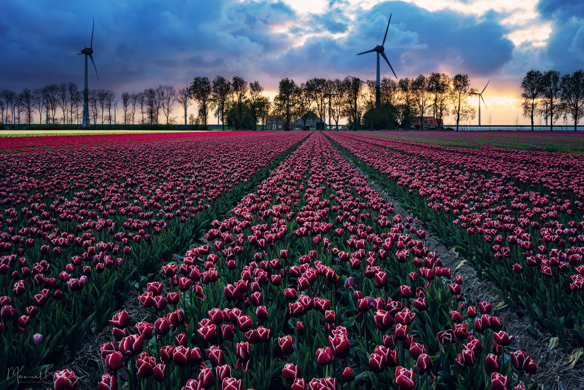 Tulip fields near Espel, Netherlands