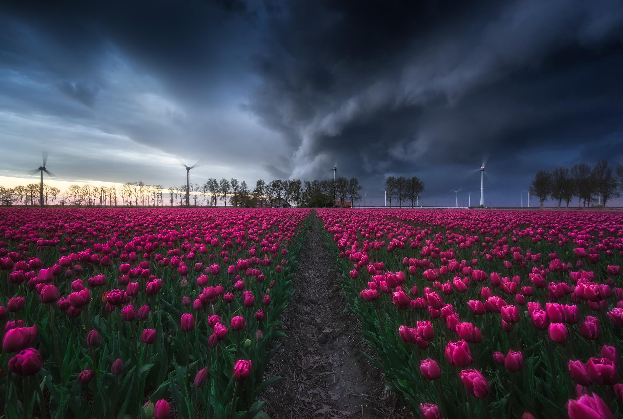 Tulips field (Noordoostpolder), Netherlands