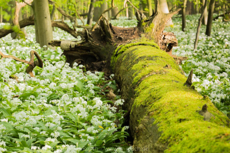 Bärlauchblüte, Germany
