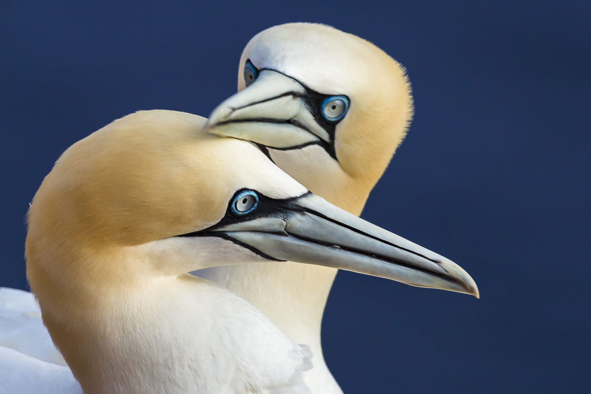 Northern gannets on Heligoland, Germany