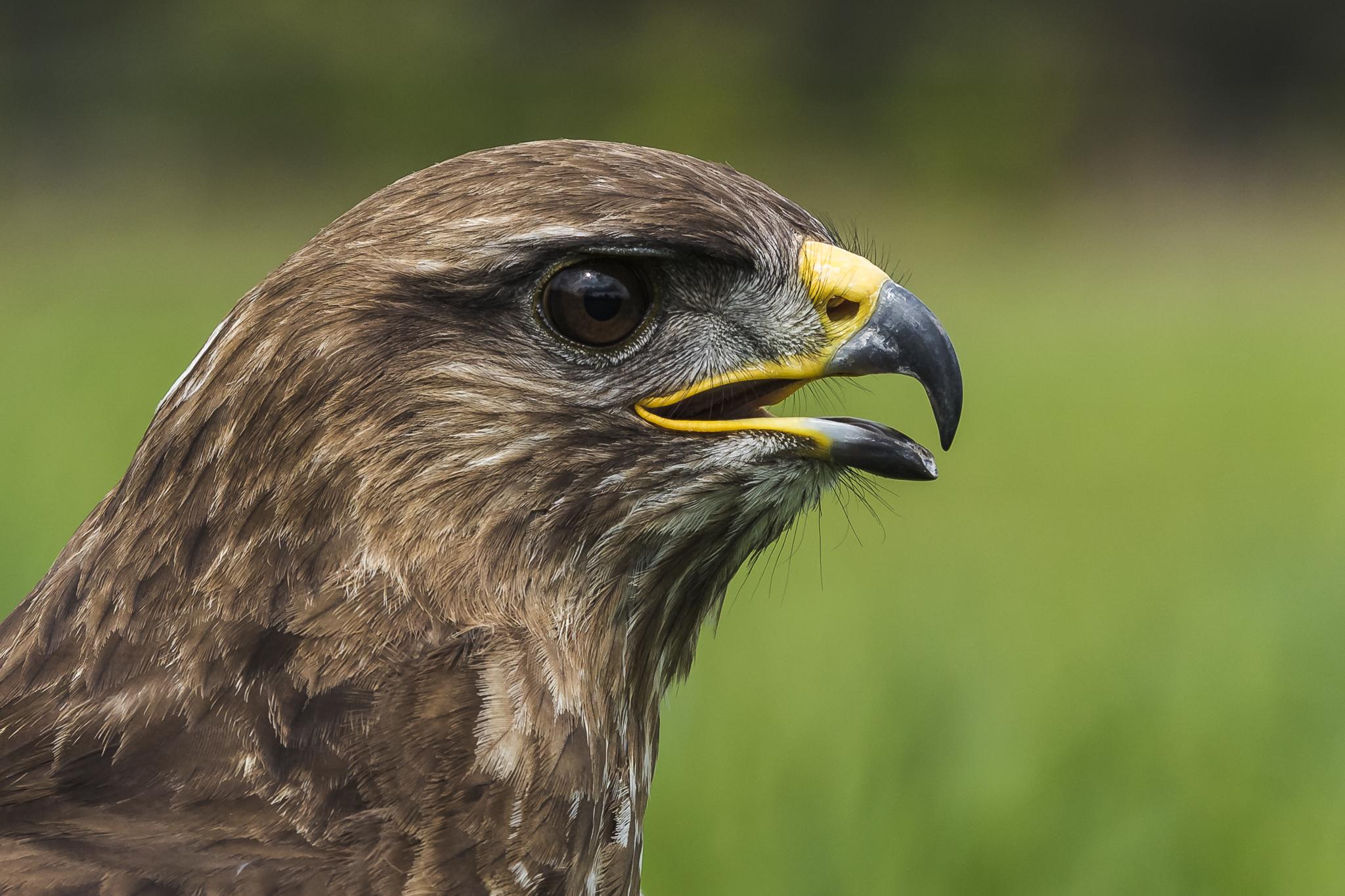 Birds of prey in Noord-Brabant (Netherlands), Netherlands