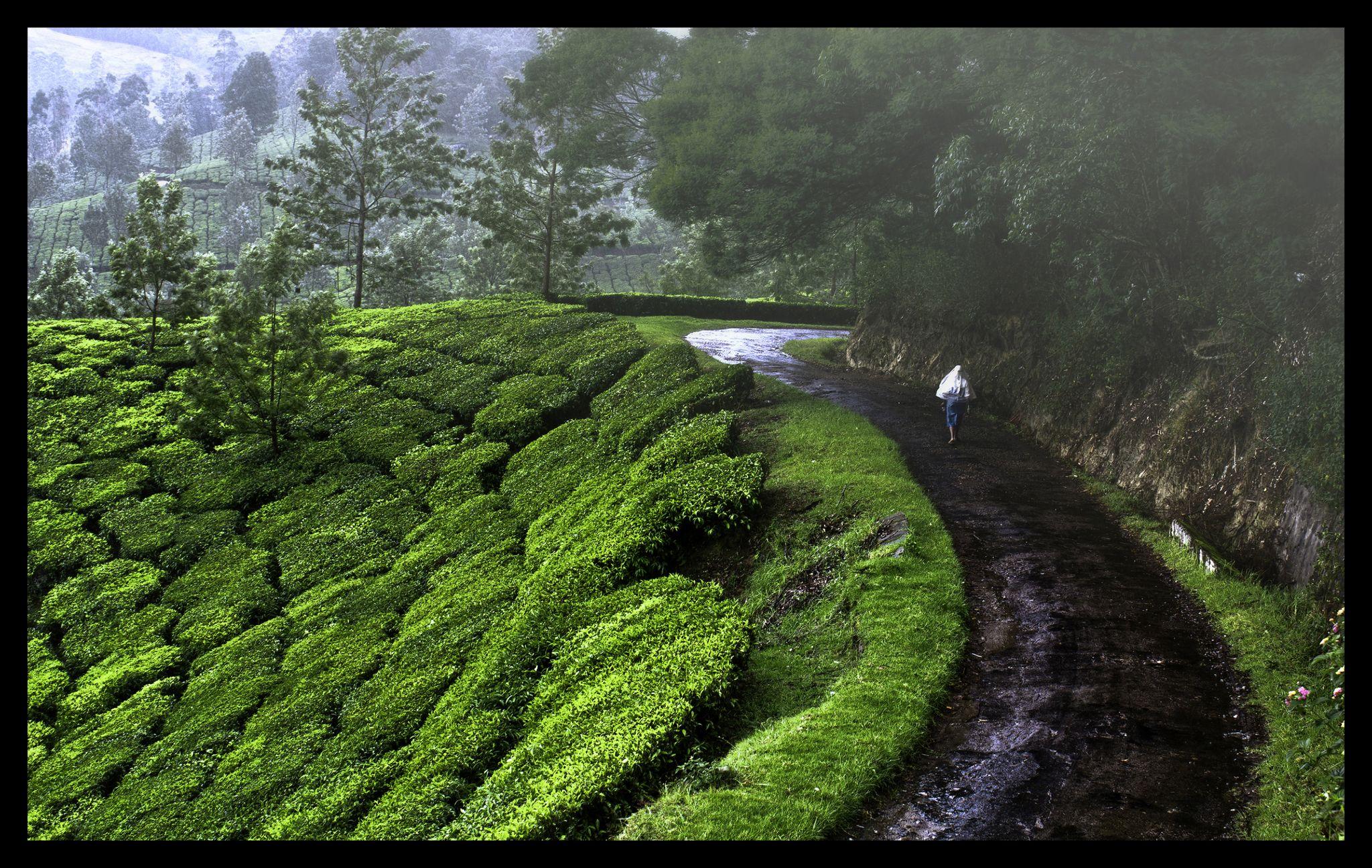 Tea plantations of Munnar, India