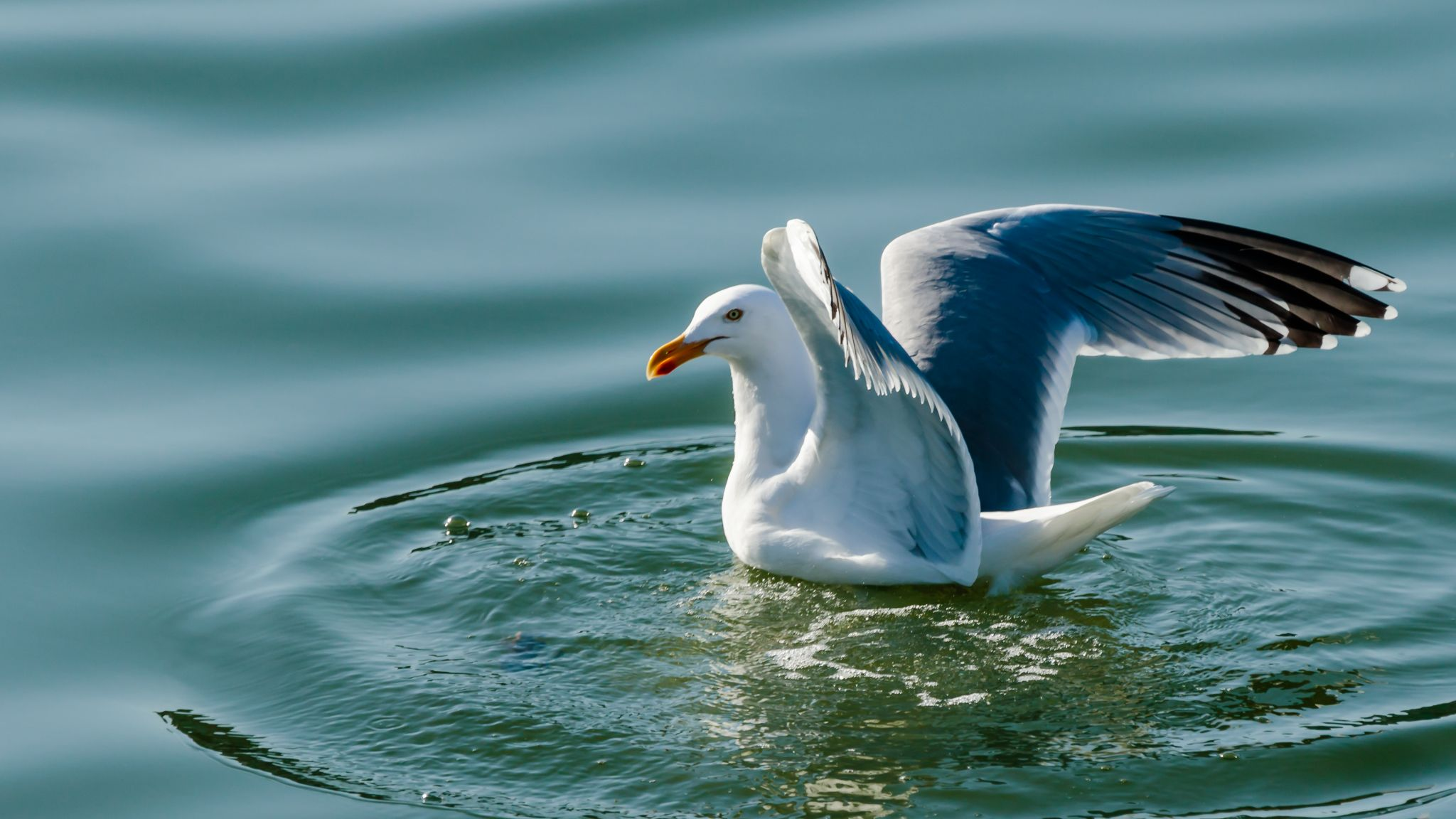 Lesser black-backed gull at the harbour of Oostende, Belgium