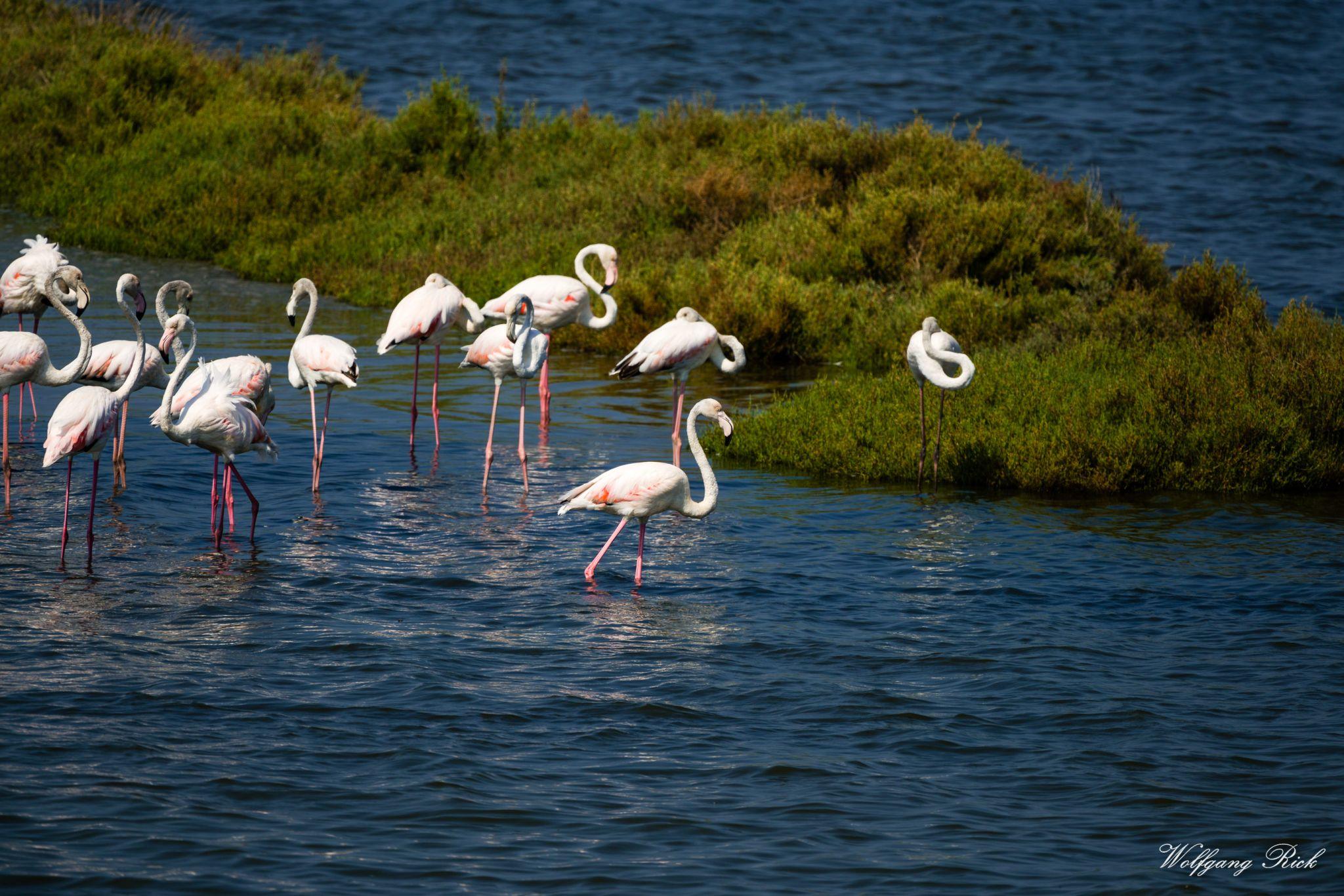 Flamingos, Italy