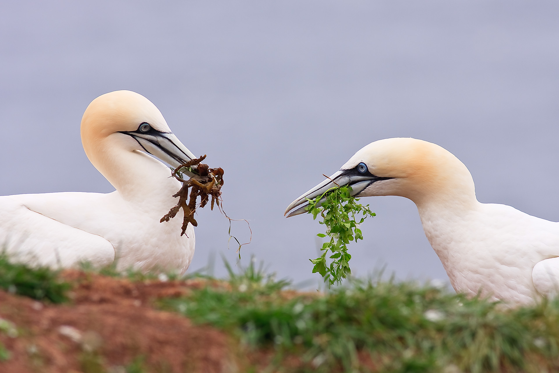 Northern Gannet Colonies on Bonaventure Island, Canada