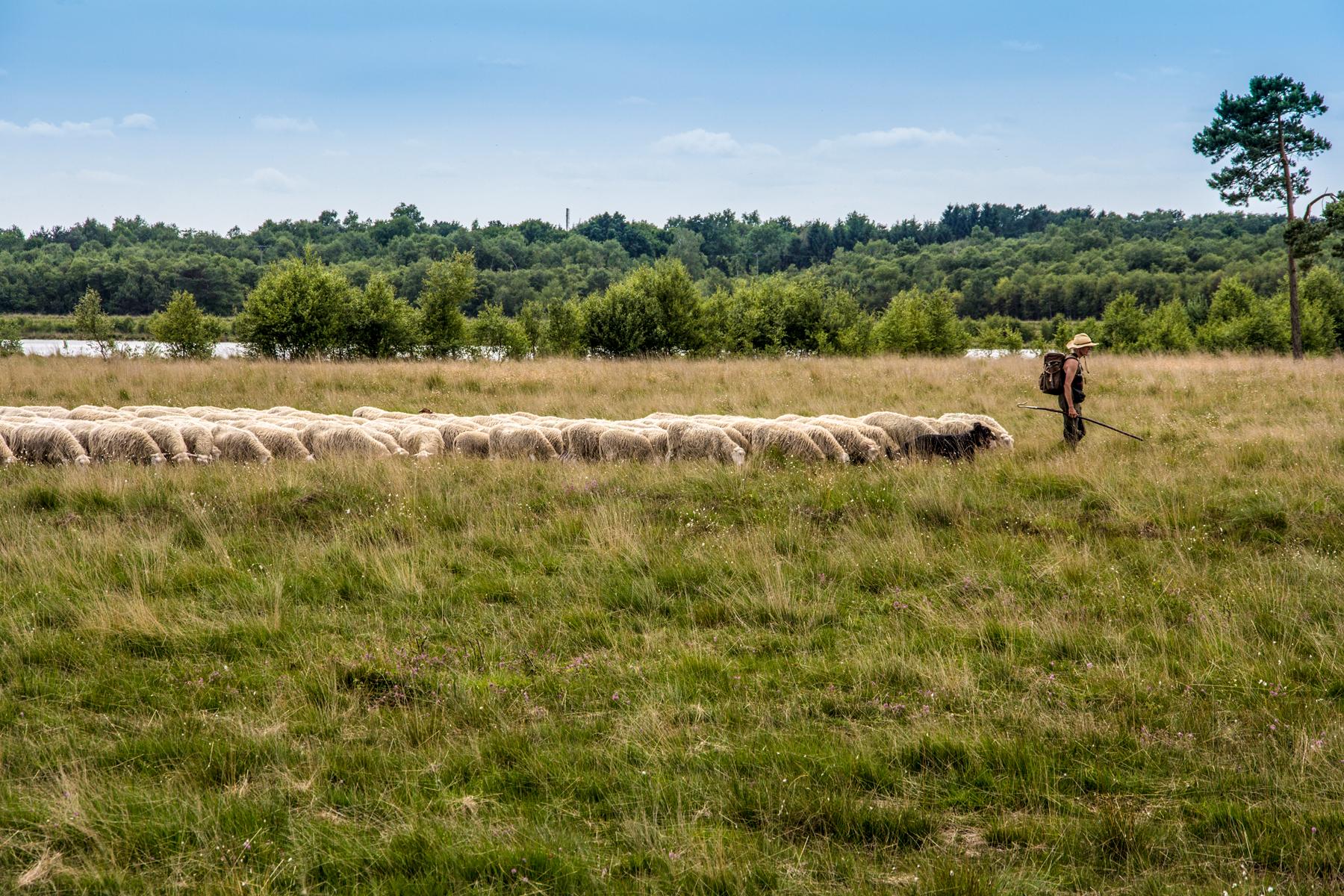 Sheep at Wietingsmoor, Germany