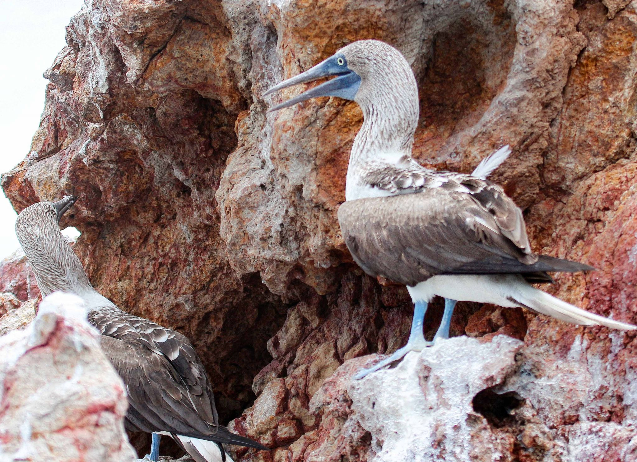 Blue Footed Boobies, Mexico