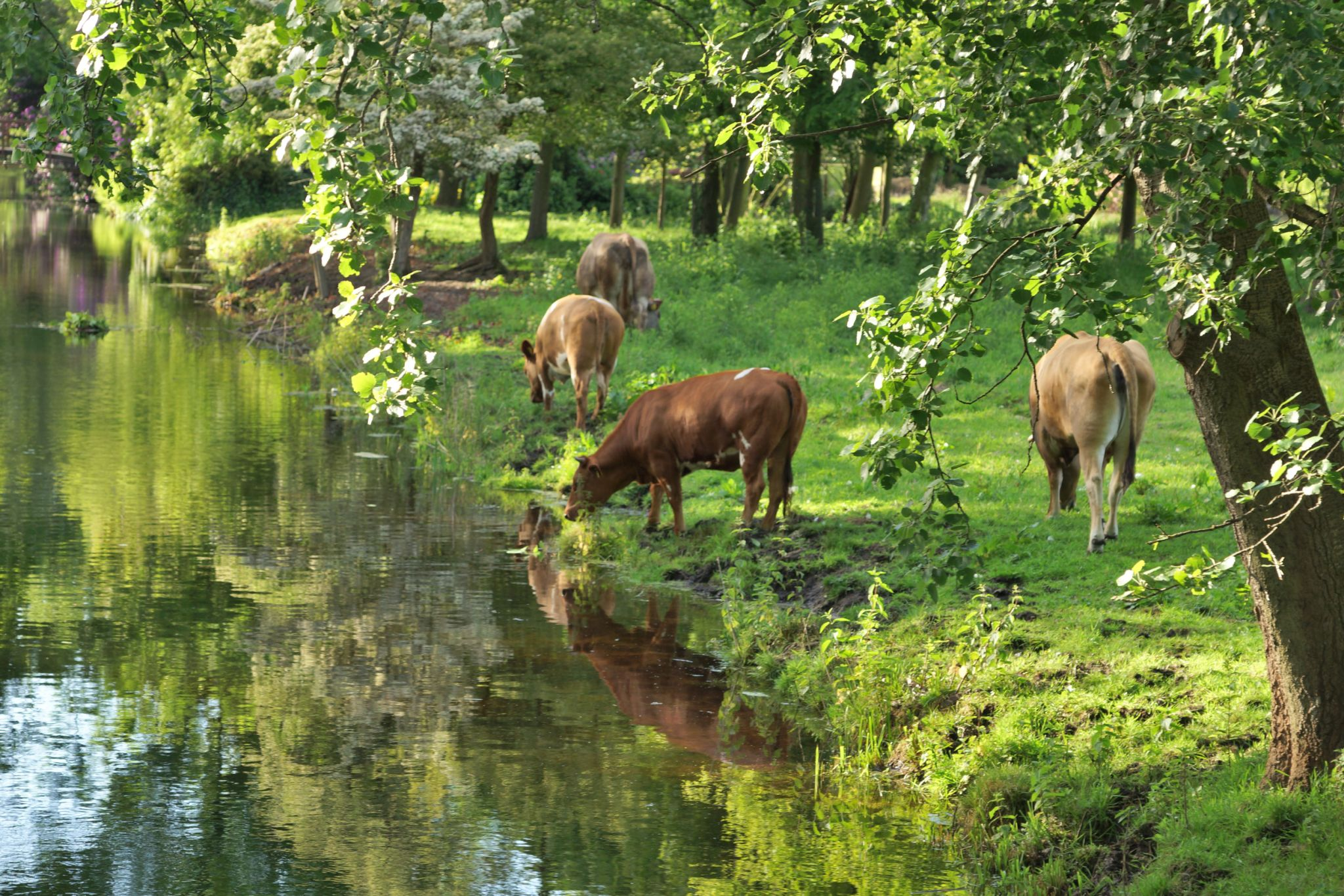 Cows grazing at Park Clingendael, The Hague, Netherlands