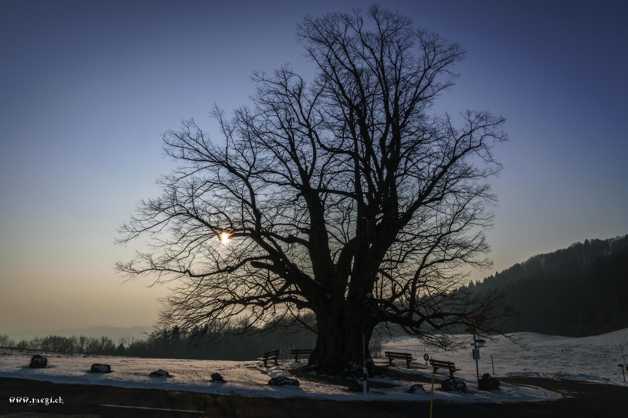 Die Linde von Linn, Switzerland