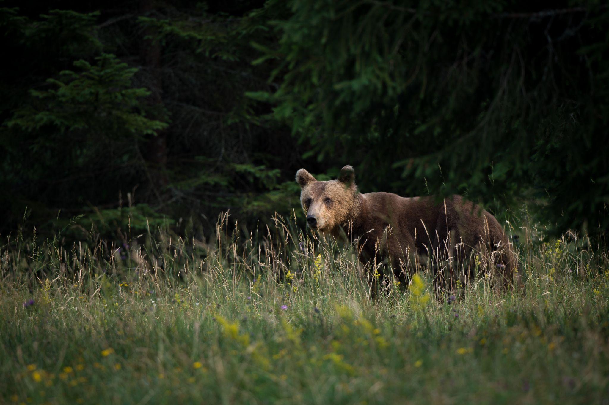 Brown bear photo hides, Slovenia