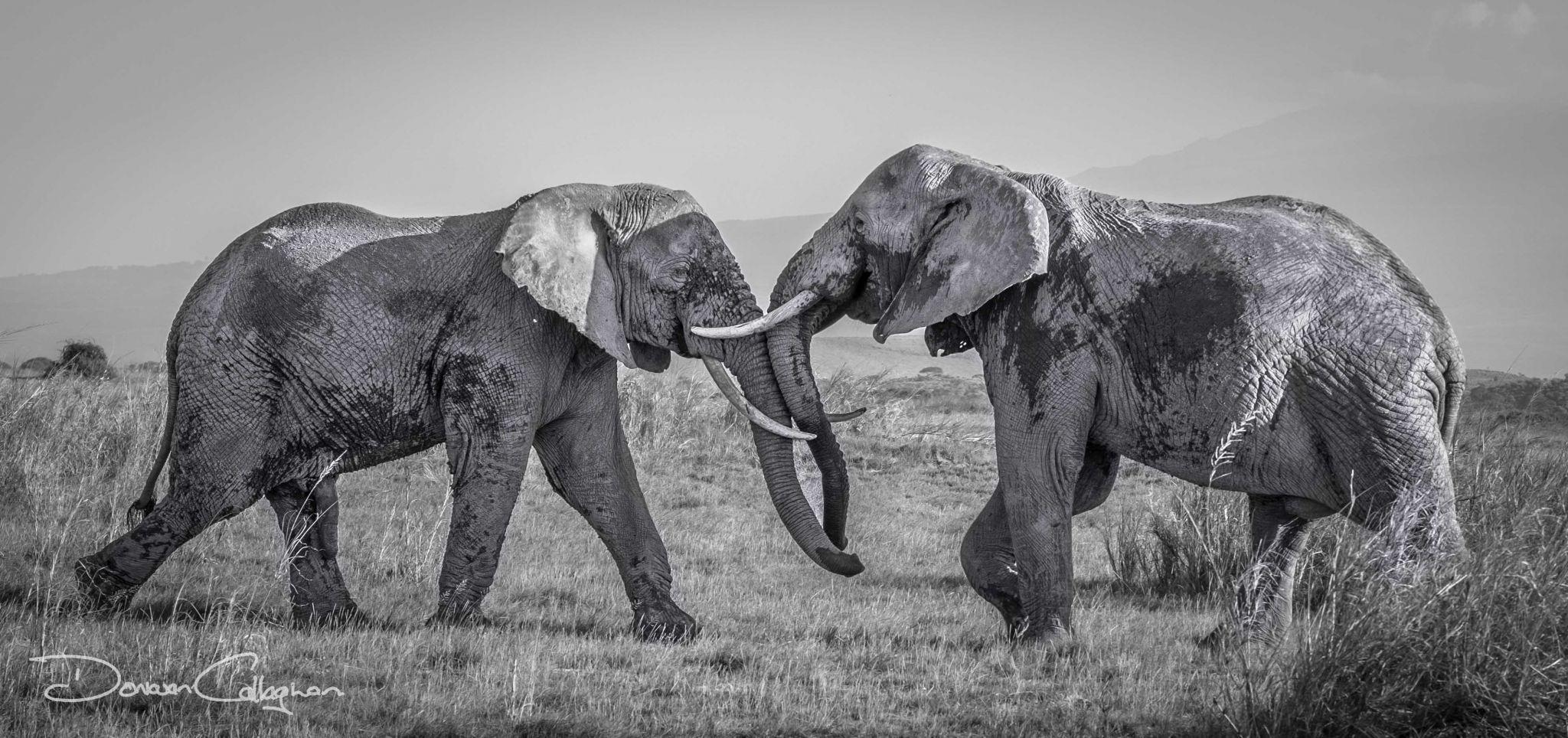 Dueling Elephants, Kenya
