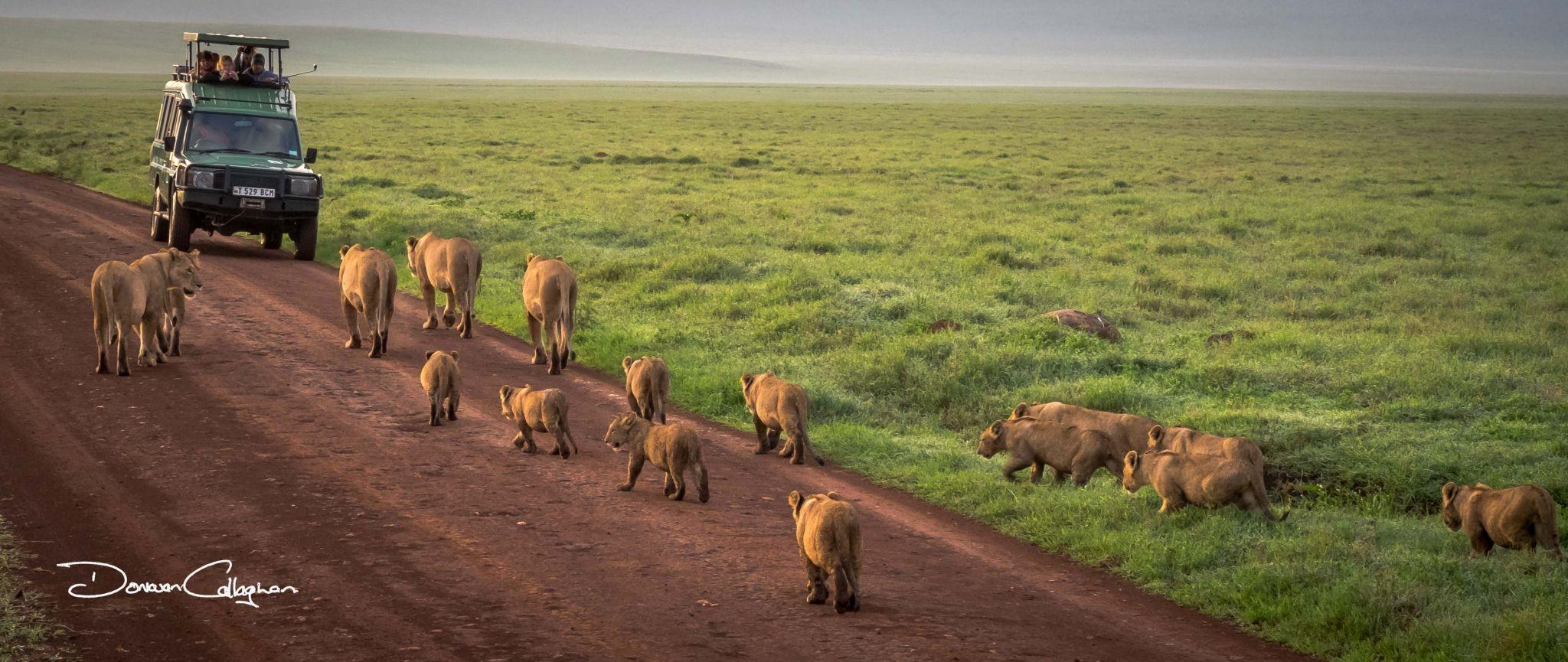 Ngorongoro Crater Lion pride, Tanzania