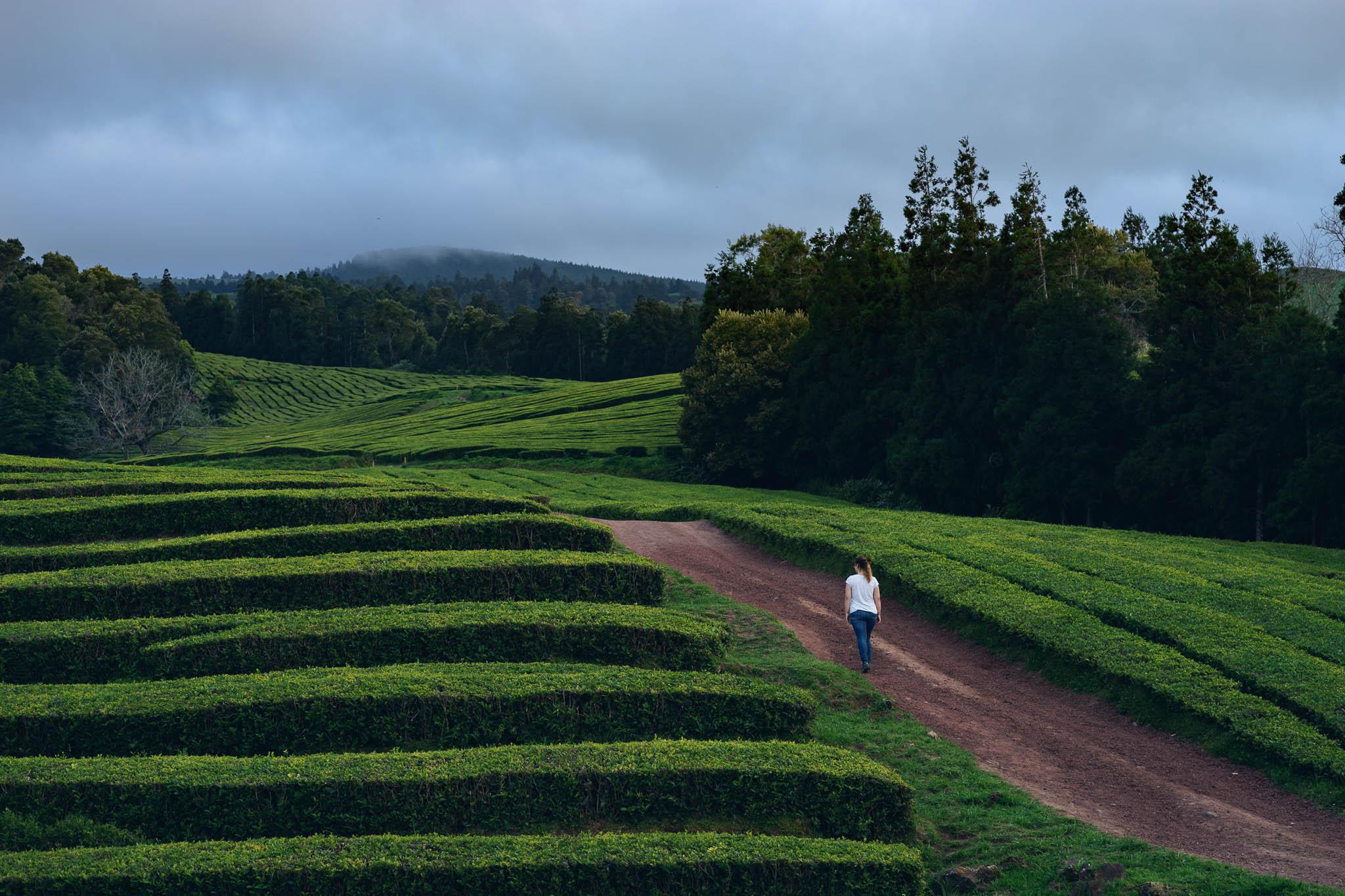 Tea Plantation of Chá Gorreana, Sao Miguel, Azores, Portugal