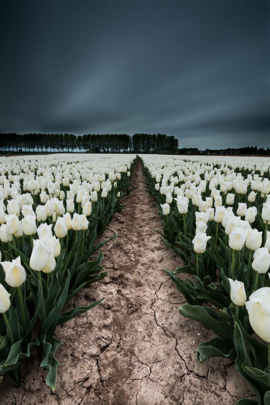 Tulip Fields in 'De Klinge', Belgium